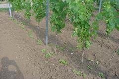 Wenn die Natur zu viele Trauben schenkt, dann müssen wir der Qualität wegen im Juli schon reduzieren!